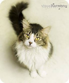 Domestic Longhair Cat for adoption in Phoenix, Arizona - Sophia