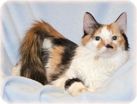 Domestic Longhair Cat for adoption in Warren, Michigan - Lola
