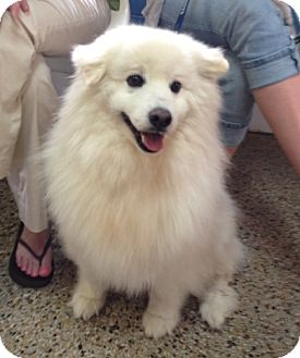 Samoyed Dog for adoption in Richmond, Virginia - Zero
