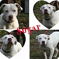 Pit Bull Terrier Dog for adoption in Poughkeepsie, New York - Sugar