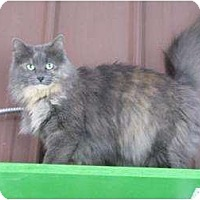 Domestic Longhair Cat for adoption in Belleville, Michigan - Sierra