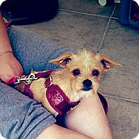 Adopt A Pet :: Ariel - Santa Ana, CA