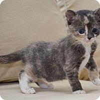 Adopt A Pet :: Ariel - Reston, VA