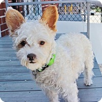 Adopt A Pet :: Braxton - Smyrna, GA