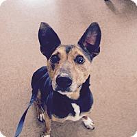 Adopt A Pet :: Elvis - South Windsor, CT