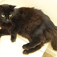 Domestic Mediumhair Cat for adoption in Van Nuys, California - Baby Ruth