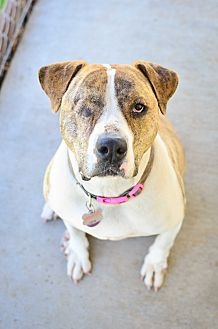 American Staffordshire Terrier/American Pit Bull Terrier Mix Dog for adoption in Acton, California - Ninja