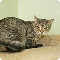 Domestic Shorthair Cat for adoption in Chicago, Illinois - Tabitha