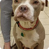 Adopt A Pet :: Franzi - Norcross, GA