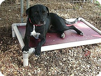 Terrier (Unknown Type, Medium)/Labrador Retriever Mix Dog for adoption in Fair Oaks Ranch, Texas - Sissy