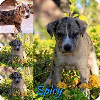 Australian Cattle Dog Puppies Phoenix Az