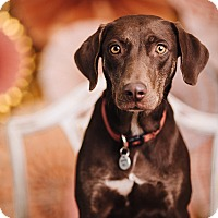 Adopt A Pet :: Valentine - Portland, OR