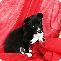 Adopt A Pet :: Destiny Border Aussiehoula - St. Louis, MO
