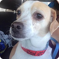 Adopt A Pet :: Misty - Encino, CA