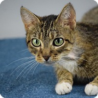 Adopt A Pet :: Nefertiti - Columbia, IL