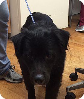 Labrador Retriever Mix Dog for adoption in Greensburg, Pennsylvania - Buster