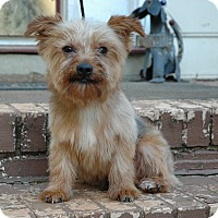 Yorkie, Yorkshire Terrier Dog for adoption in Lawrenceville, Georgia - Winnie
