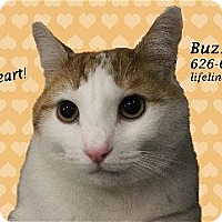 Domestic Shorthair Cat for adoption in Monrovia, California - BUZZ