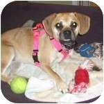 Pug/Beagle Mix Puppy for adoption in Windermere, Florida - Darby
