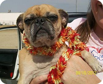 Pug Dog for adoption in Anaheim, California - Mallory