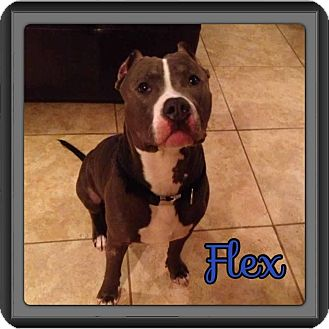 American Pit Bull Terrier Dog for adoption in Spring, Texas - Flex