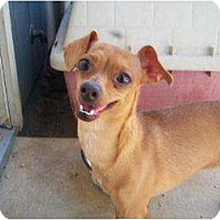 Chihuahua/Dachshund Mix Dog for adoption in Templeton, California - Sofia