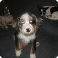 Adopt A Pet :: Boomer - Apex, NC