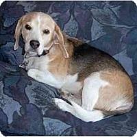 Adopt A Pet :: Barney Mac - Phoenix, AZ