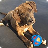 Adopt A Pet :: Miss Scarlett - Sneads Ferry, NC