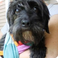 Schnauzer (Miniature)/Cairn Terrier Mix Dog for adoption in Solebury, Pennsylvania - Lilly