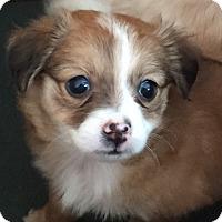 Adopt A Pet :: Preston - Las Vegas, NV