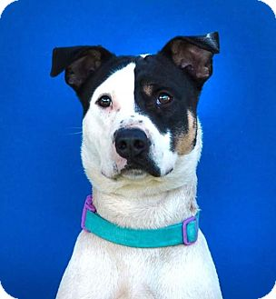 Labrador Retriever/Rat Terrier Mix Dog for adoption in Toluca Lake, California - Chase