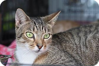 American Shorthair Cat for adoption in Ft Myers Beach, Florida - Jax wants to live!!