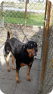 Rottweiler Mix Dog for adoption in Tampa, Florida - Mary Jane