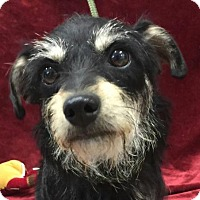Terrier (Unknown Type, Small) Mix Dog for adoption in Allentown, Pennsylvania - Princess