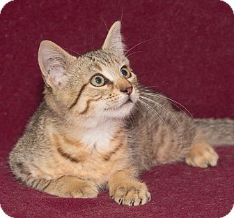 Domestic Shorthair Kitten for adoption in Elmwood Park, New Jersey - Tanner