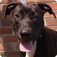 Labrador Retriever Mix Dog for adoption in Savannah, Georgia - Montana