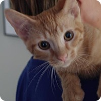 Adopt A Pet :: Tang - Knoxville, TN
