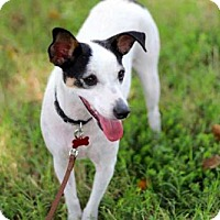 Jack Russell Terrier/Rat Terrier Mix Dog for adoption in richmond, Virginia - MRS. BEASLEY