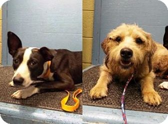 Terrier (Unknown Type, Medium) Mix Dog for adoption in Chalfont, Pennsylvania - George and Gracie