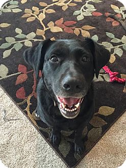 Labrador Retriever Mix Dog for adoption in Brattleboro, Vermont - Cupid