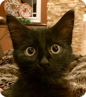 Domestic Mediumhair Kitten for adoption in Cincinnati, Ohio - Hershey