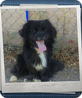 Tibetan Spaniel/Pekingese Mix Dog for adoption in Mesa, Arizona - Dillinger