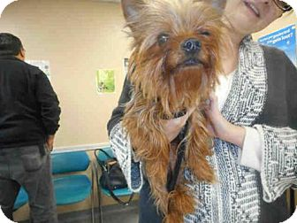 Louisville, KY - Yorkie, Yorkshire Terrier. Meet ARKANSAS a Dog for ...