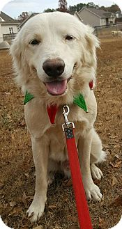 Great Pyrenees/Golden Retriever Mix Dog for adoption in Scottsboro, Alabama - Buddy