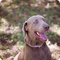 Labrador Retriever Mix Dog for adoption in Lewisville, Indiana - Rex