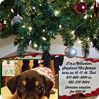 Adopt A Pet :: Ginger - springtown, TX