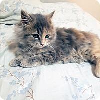 Domestic Mediumhair Cat for adoption in Mississauga, Ontario, Ontario - Corfu