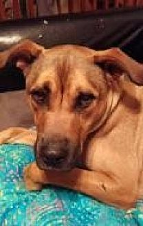 Boxer/Labrador Retriever Mix Dog for adoption in New Albany, Ohio - Mr. T
