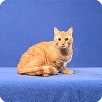 Domestic Shorthair Cat for adoption in Cary, North Carolina - Linus Van Pelt (Kitten)